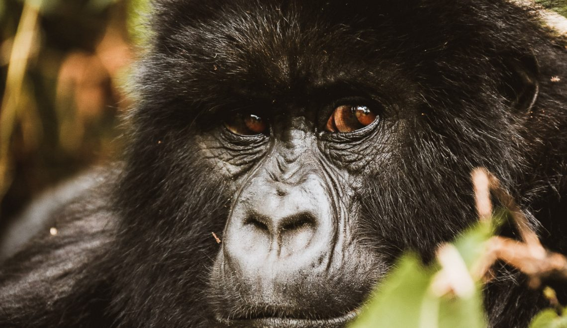 Trekking with wild Gorillas in Rwanda